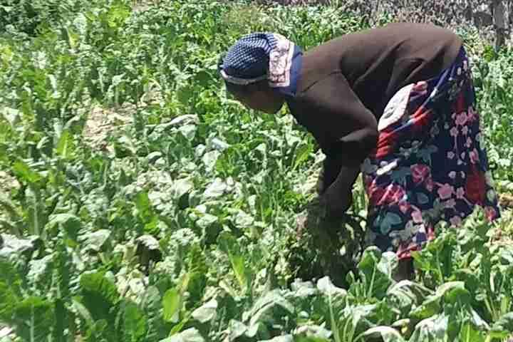 Women picking lettuce in her farmer's field